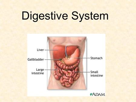 Digestive System. Function Break down food into particles the body can use Particles are absorbed into blood and carried throughout body Wastes are removed.