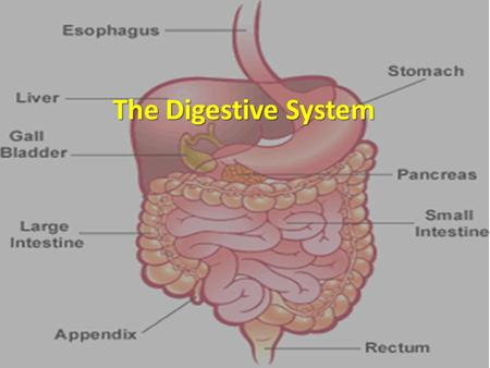 The Digestive System. Feed Me! Digestive system uses mechanical and chemical energy to break organic material Digestive system uses mechanical and chemical.
