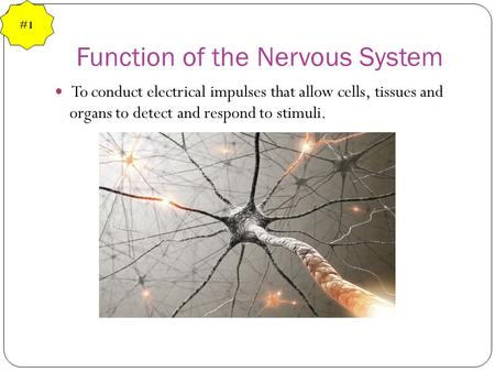 Function of the Nervous System To conduct electrical impulses that allow cells, tissues and organs to detect and respond to stimuli. #1.