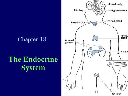 Chapter 18 The Endocrine System.. Endocrine System Overview Uses hormones as control agents Hormones = chemical messengers released into the blood to.