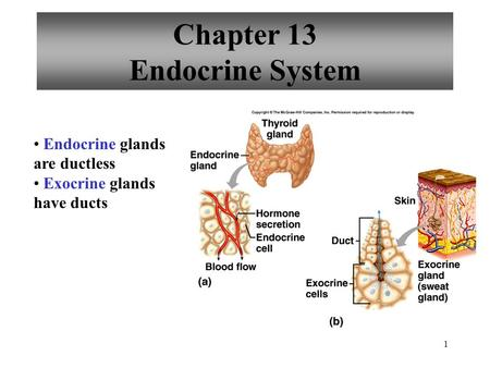 1 Chapter 13 Endocrine System Endocrine glands are ductless Exocrine glands have ducts.