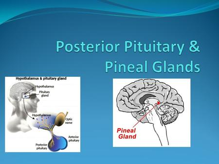 Posterior Pituitary Gland The Pineal Gland Description of Glands: The pituitary The pituitary gland has dimensions of about 12mm by 8mm in an average.