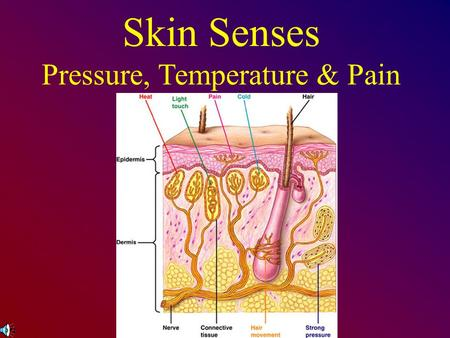 Skin Senses Pressure, Temperature & Pain. Touch Touch receptors are on the skin Skin is the largest & heaviest organ (20 sq. ft. & 6 lbs.) Four basic.