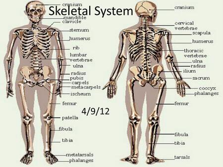Skeletal System 4/9/12. The Skeletal System The function of the skeletal system is to give us support and to be able to move around. Without the skeletal.