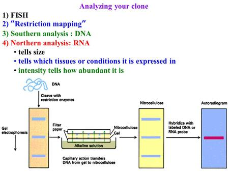 "Analyzing your clone 1) FISH 2) ""Restriction mapping"" 3) Southern analysis : DNA 4) Northern analysis: RNA tells size tells which tissues or conditions."