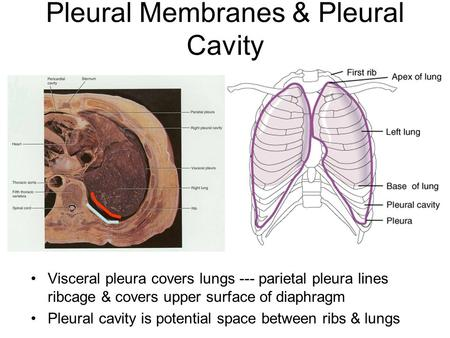 Pleural Membranes & Pleural Cavity Visceral pleura covers lungs --- parietal pleura lines ribcage & covers upper surface of diaphragm Pleural cavity is.