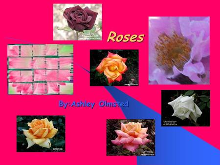 Roses By:Ashley Olmsted. Roses How to grow them How to grow them How do they grow? How do they grow? Hints and tips for your rose garden Hints and tips.