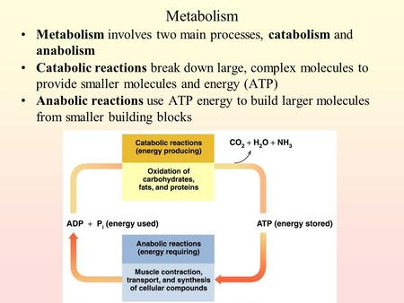 Metabolism Metabolism involves two main processes, catabolism and anabolism Catabolic reactions break down large, complex molecules to provide smaller.