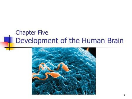 Chapter Five Development of the Human Brain