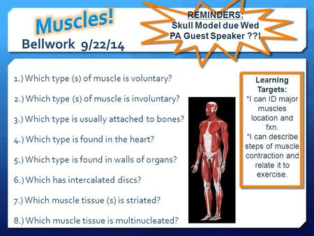 Bellwork 9/22/14 1.) Which type (s) of muscle is voluntary? 2.) Which type (s) of muscle is involuntary? 3.) Which type is usually attached to bones? 4.)