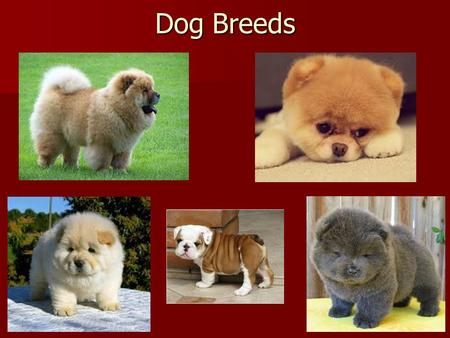 Dog Breeds. Question of the Day Feb 11 Normal <strong>human</strong> zygote cells contain Normal <strong>human</strong> zygote cells contain A. 23 <strong>chromosomes</strong> A. 23 <strong>chromosomes</strong> B. 44 <strong>chromosomes</strong>.