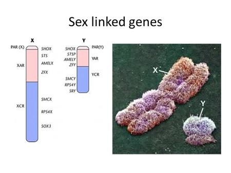 Sex linked genes.