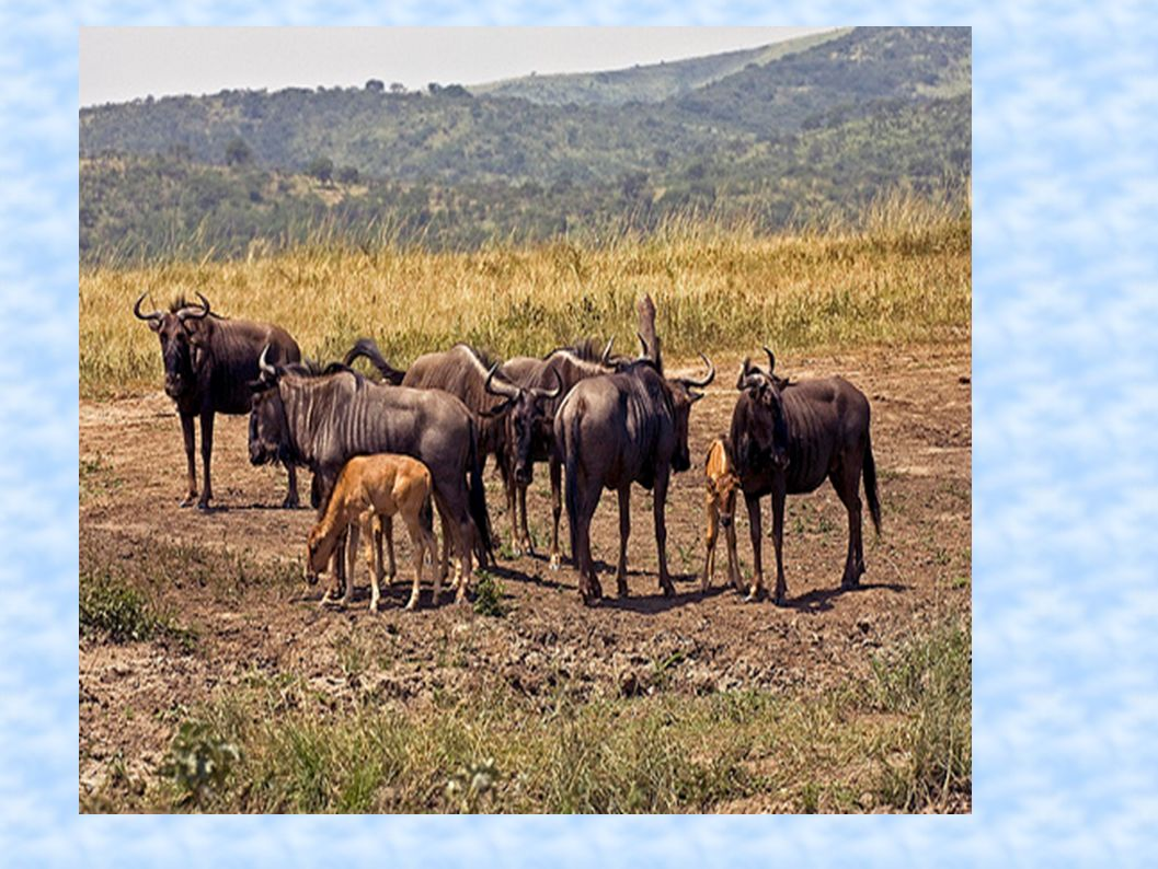 Which population of wildebeest has the greatest population density?