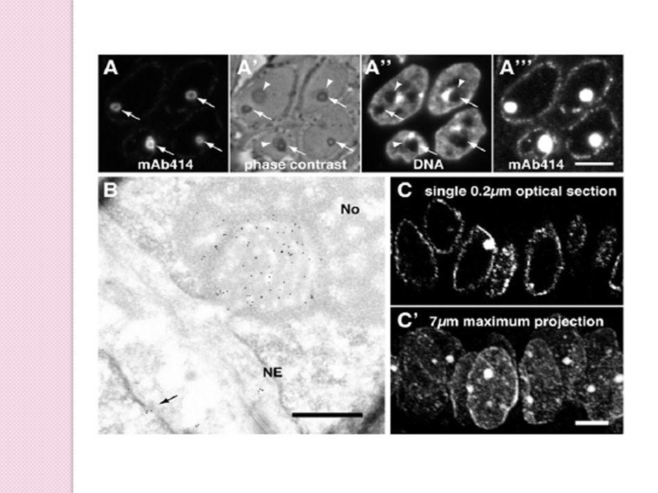 NCSs are abundant organelles specific to human endometrial epithelial cells  In single 0.5- μ m-thick cryosections or 0.2- μ m-thick optical confocal planes of paraffin sections, NCSs are observed in only about 10% of epithelial cell nuclei.