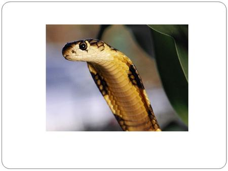 Poisonous snakes: Cobra: Cobras are large and diverse group of venomous snakes. There are 270 different types of cobras. The king cobra averages at 3.
