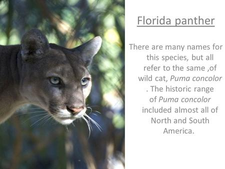 Florida panther There are many names for this species, but all refer to the same,of wild cat, Puma concolor. The historic range of Puma concolor included.
