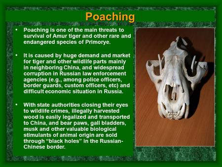 Poaching Poaching is one of the main threats to survival of Amur tiger and other rare and endangered species of Primorye. It is caused by huge demand and.