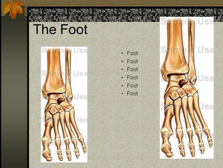 The Foot Foot Bones Tarsals (7) Metatarsals (5) Phalanges (14) Joints 38.