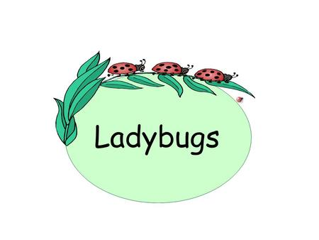 Ladybugs. What is a ladybug? A ladybug is an insect classified as a beetle. An insect has six legs, two antennae, two wings and three body parts – head,