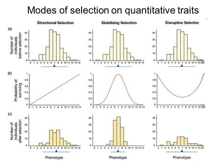 Modes of selection on quantitative traits. Directional selection The population responds to selection when the mean value changes in one direction Here,