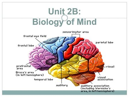 Unit 2B: Biology of Mind. Objective 8: Explain the functions of the motor & sensory cortex & association area. Lobes  Frontal lobes Frontal lobes  motor.