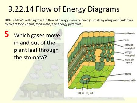 9.22.14 Flow of Energy Diagrams Which gases move in and out of the plant leaf through the stomata? OBJ: 7.5C We will diagram the flow of energy in our.