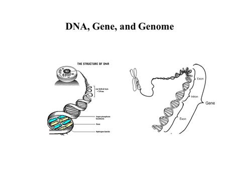 DNA, Gene, and Genome Translating Machinery for Genetic Information.