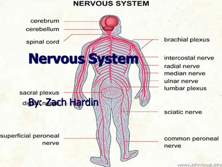 Nervous System By: Zach Hardin.