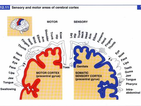Exam 1 Moved to the 31 of January Thebrainmcgill Simple to complex Neurological level Intermediate level Midsagittal view.