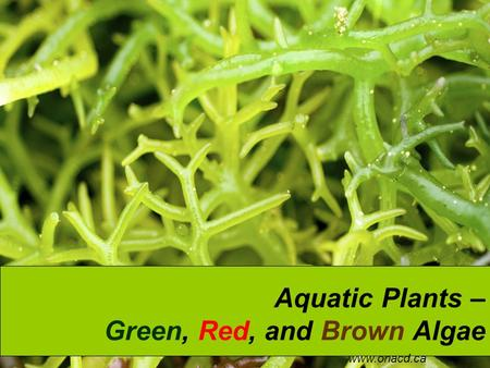 Aquatic Plants – Green, Red, and Brown Algae www.onacd.ca.