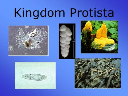 Kingdom Protista. The Link Between Bacteria and the Multicellular World There are plant-like protists that photosynthesize –Dinoflagellates –Euglena –Diatoms.