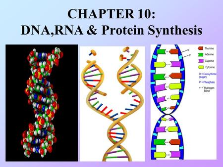 CHAPTER 10: DNA,RNA & Protein Synthesis