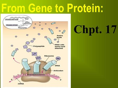 "From Gene to Protein: Chpt. 17. Archibald Garrod (1909) hypothesized: ""proteins are the link between genotype & phenotype"" How does the DNA lead to specific."