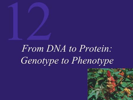 12 From DNA to Protein: Genotype to Phenotype. 12 One Gene, One Polypeptide A gene is defined as a DNA sequence that encodes information. In the 1940s,
