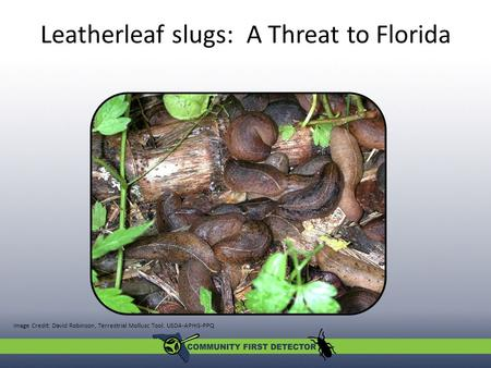 Leatherleaf slugs: A Threat to Florida Image Credit: David Robinson, Terrestrial Mollusc Tool. USDA-APHIS-PPQ.
