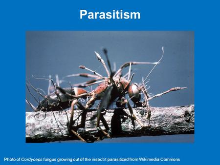 "Parasitism Please do not use the images in these PowerPoint slides without permission. Wikipedia ""Cordyceps"" page; accessed 02-X-2014 Photo of Cordyceps."