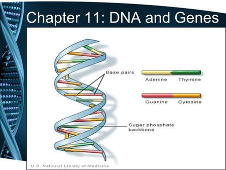 Chapter 11: DNA and Genes. 11.1 – DNA: The Molecule of Heredity 1.DNA stands for deoxyribonucleic acid 2.DNA contains all the genetic information that.