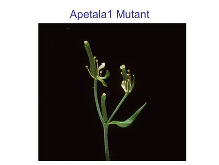 Apetala1 Mutant. Testing the ABC floral-organ identity model: cloning the genes Objectives: To test the validity of the ABC model for floral organ identity.