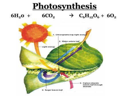 Photosynthesis 6H 2 0 + 6CO 2  C 6 H 12 O 6 + 6O 2.