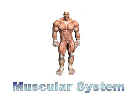 What is the Muscular System? The driving force behind movement, as a result of muscles contracting. Muscles: 1. Define body shape 2. Maintain posture.