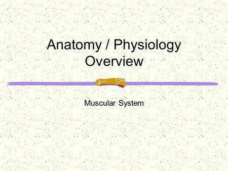Anatomy / Physiology Overview Muscular System. Without the muscular system we would be unable to sit, _________________________ objects. Blood would no.
