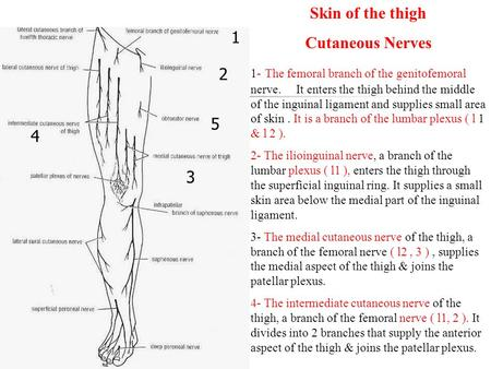 Skin of the thigh Cutaneous Nerves