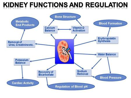 STIMULATING Blood Production 16-2 16-3 Maintaining Water-Salt Balance The kidneys maintain the water-salt balance of the blood within normal limits.
