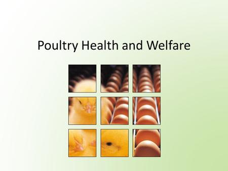 Poultry Health and Welfare. What is Animal Welfare? Is defined as providing animals with environments and management to meet their intrinsic physiological.