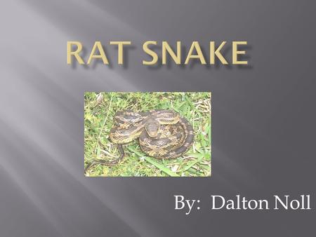 By: Dalton Noll  Rat snakes look greenish yellow or orange.  They have four dark stripes running down their body.  Rat snakes have scales.