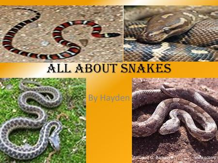 All about snakes By Hayden. The King Cobra It's scientific name is ophophagus Hannah. It lives in Africa and Southern Asia. It eats frogs, birds, rodents,