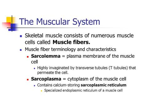 The Muscular System Skeletal muscle consists of numerous muscle cells called Muscle fibers. Muscle fiber terminology and characteristics Sarcolemma = plasma.