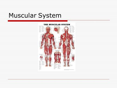 "Muscular System. Muscle Function  Movement Not moving  ""freeze""  Holding still  Posture Sitting Standing  Body heat Causes sweating Shivering."
