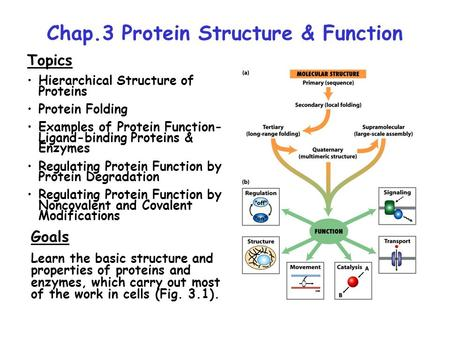 protein structure and relationship to enzyme function
