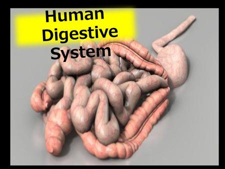 Human Digestive System. 1)Describe the structure of the inner wall of the small intestine and explain it's role in terms of increased surface area for.